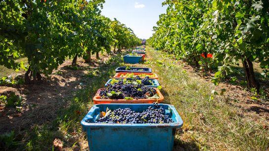 Grapes in a basket at a vineyard