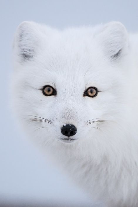 On a Canadian winter safari, you'll have opportunities to get close to a wide range of ...