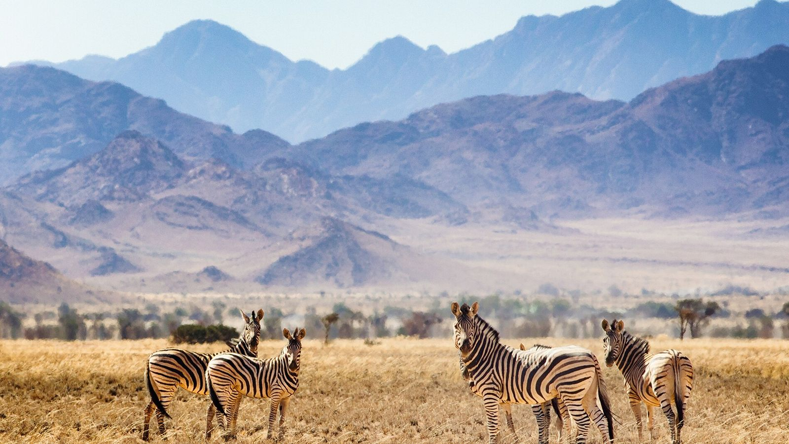 Hartmann's mountain zebra, Namibia.