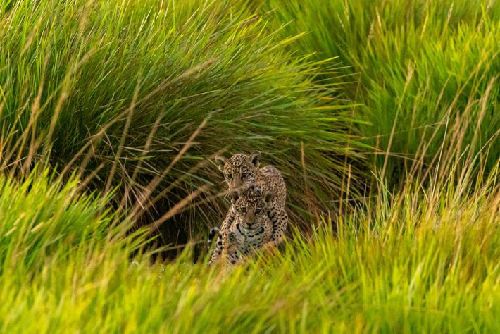 Karai and Pora were the first jaguars released in the Iberá Wetlands, along with their mother Mariua. ...