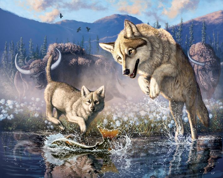 An illustration of a gray wolf hunting fish with it's pup in northwestern Canada nearly 60,000 ...