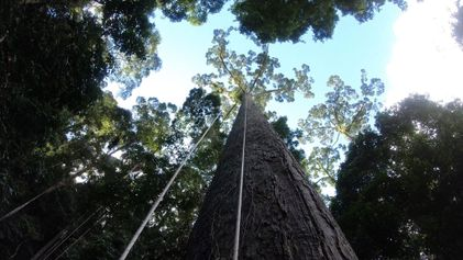 The world's tallest known tropical tree has been found—and climbed