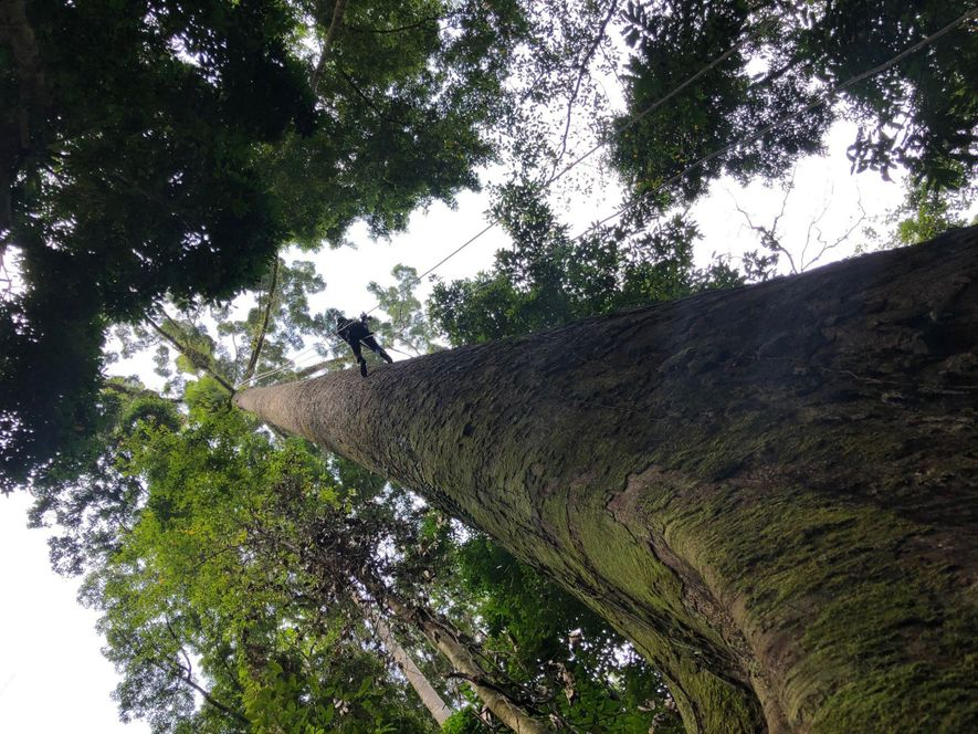 Climbing the world's tallest trees is not for the faint of heart.