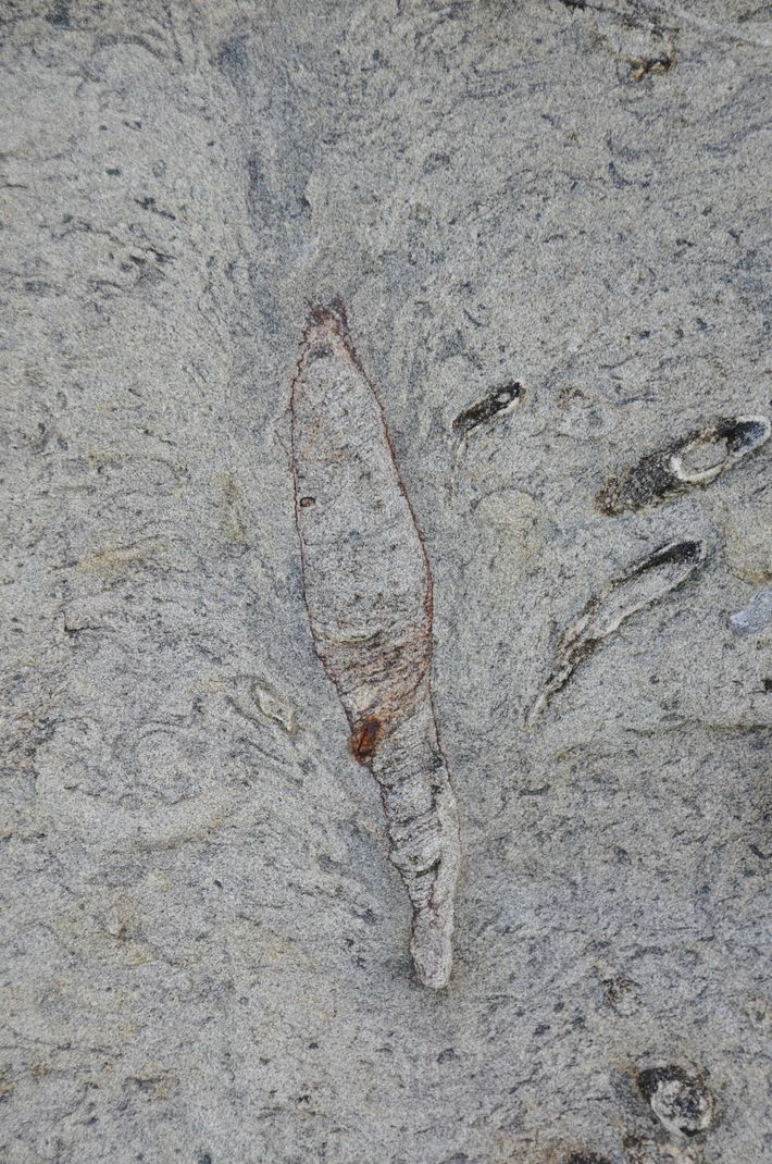The top of this fossilized burrow found in Taiwan forms a feather-shaped collapse structure, similar to ...