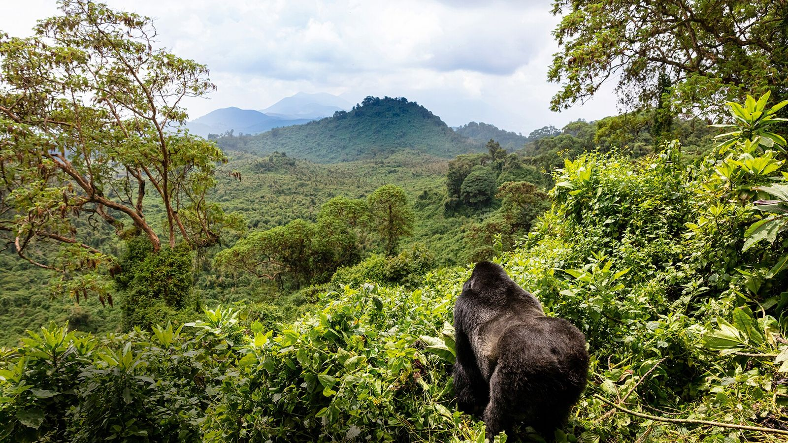 Mountain gorilla in Rwanda Volcanoes National Park.