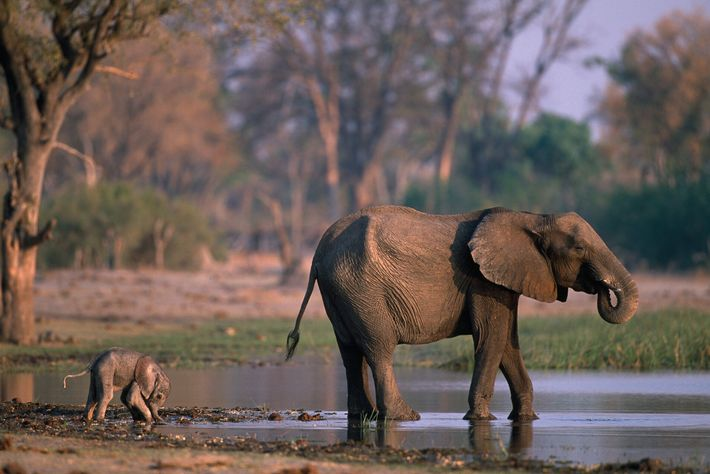 An elephant at a waterhole in Moremi Game Reserve, Botswana.