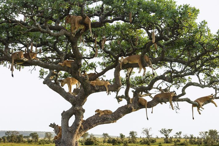 Lions resting in a tree in Serengeti National Park, Tanzania.