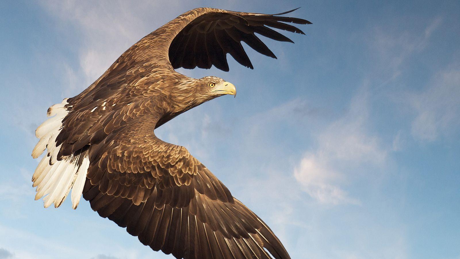 A white-tailed sea eagle in flight off the west coast of Scotland.