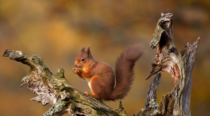 Red squirrel, Cairngorms, Scottish Highlands.