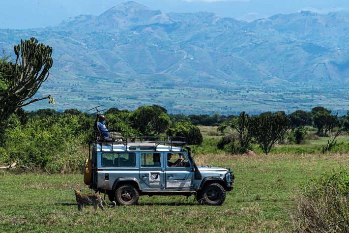Dr Ludvig and his team from Uganda Carnivore Program search for collared lions in Queen Elizabeth ...