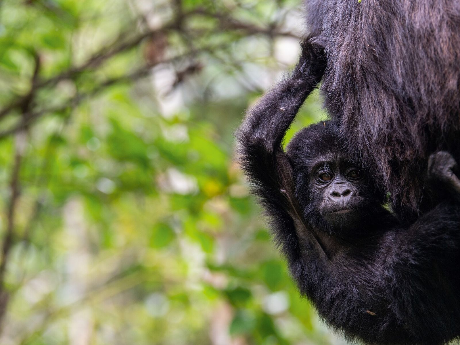 A gorilla trek in Buhoma, home to Dr Gladys Kalema-Zikusoka's research lab.