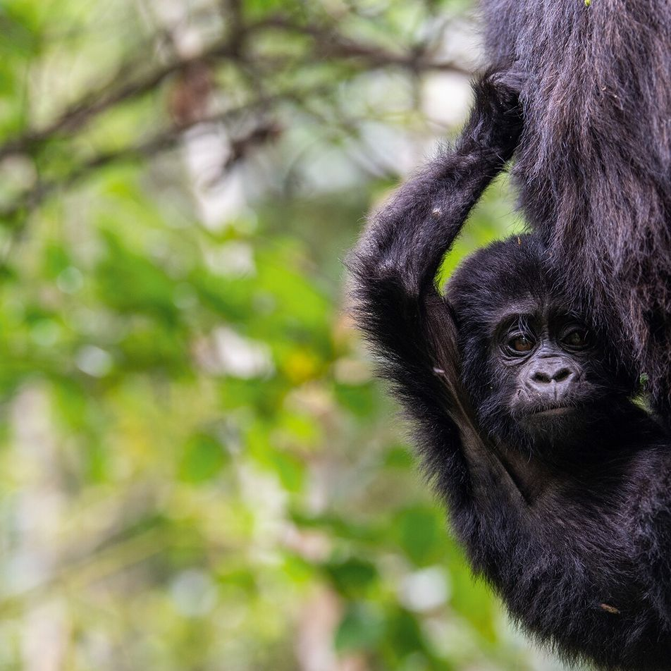 How conservationists are striving  to protect the wildlife of Uganda's national parks