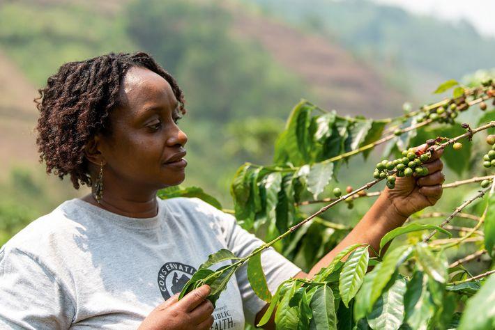 Dr Gladys Kalema-Zikusoka picks ripe berries on a coffee safari, visiting a farm benefiting from the ...