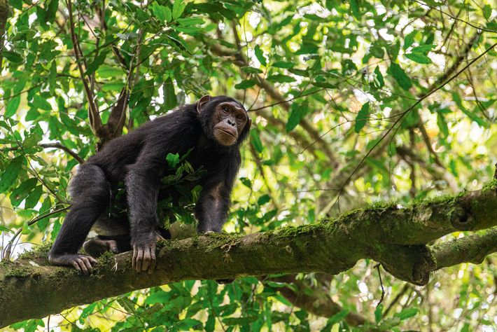 Chimpanzee trekking from Budongo Eco Lodge offers a window into the lives of the animals.