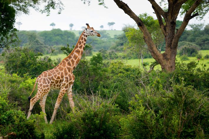 Agiraffe in Murchison Falls National Park, Uganda's oldest and largest protected area.