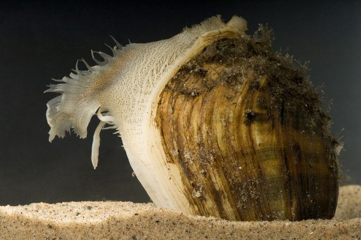 A fatmucket mussel, Lampsilis siliquoidea, displays a fish-like lure at the Genoa National Fish Hatchery.