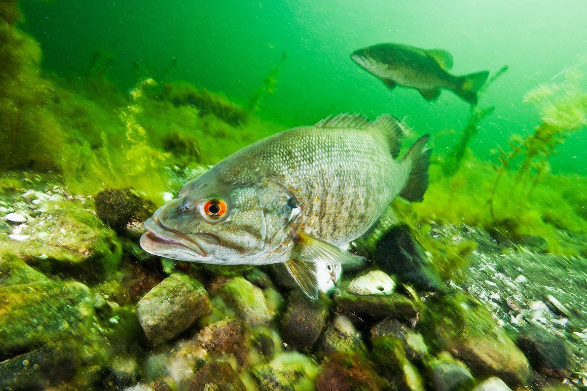 A smallmouth bass swims through the St. Lawrence River in New York.