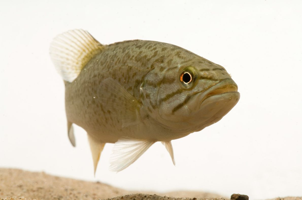 The smallmouth bass (pictured, at the Genoa National Fish Hatchery) is often parasitised by rainbow mussels.