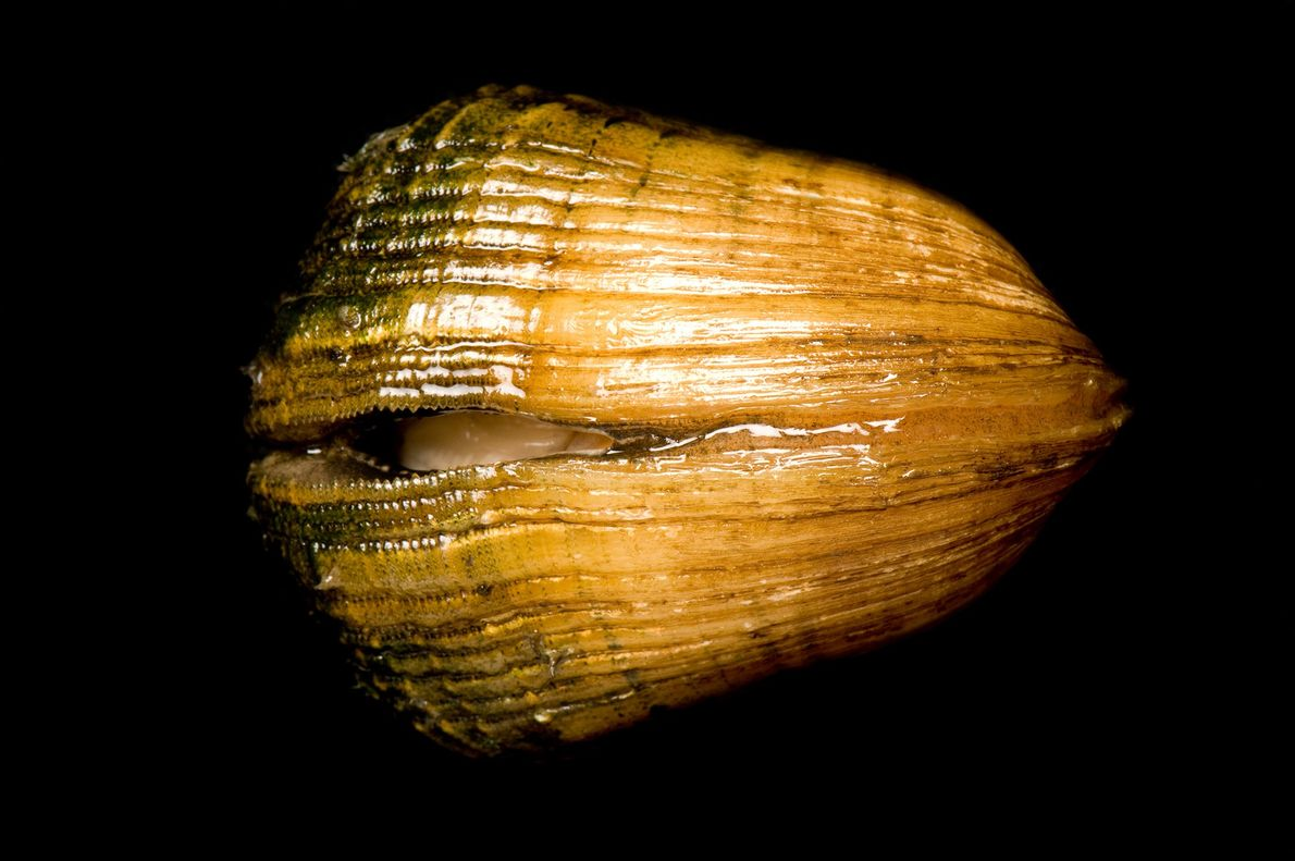 The endangered snuffbox mussel, native to the U.S. and Canada, lures fish using its fleshy mantle.