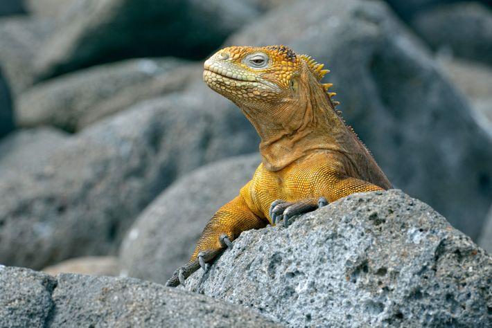 Galápagos land iguana.