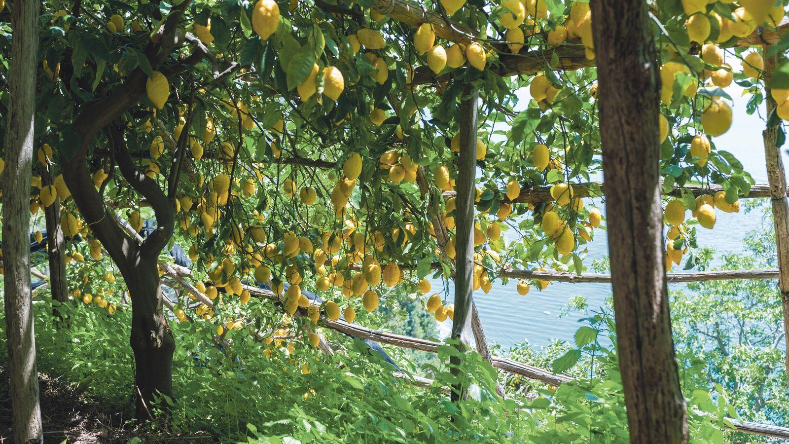 Sfusato amalfitano lemon variety.