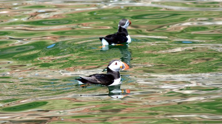 Puffins can be spotted on the uninhabted island of Ynys Seiriol/Priestholm.