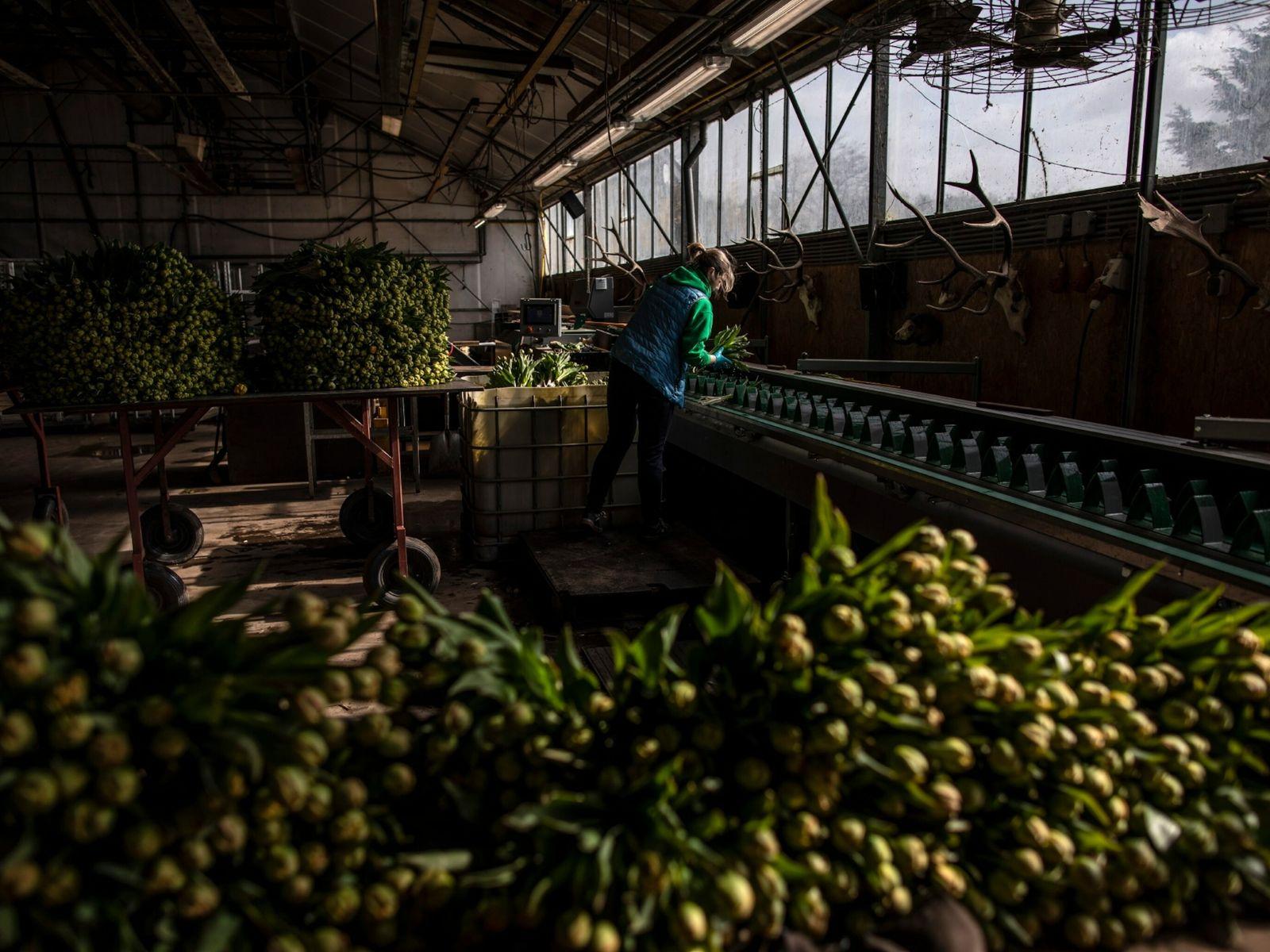 A worker prepares tulips to go to market at the Van Hage flower farm in Noordwijkerhout, ...