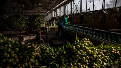 Dutch tulip farmers are hoping for a post-pandemic boom