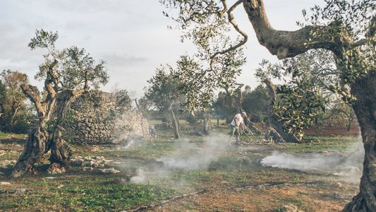 Italy's Olive Trees Are Dying. Can They Be Saved?