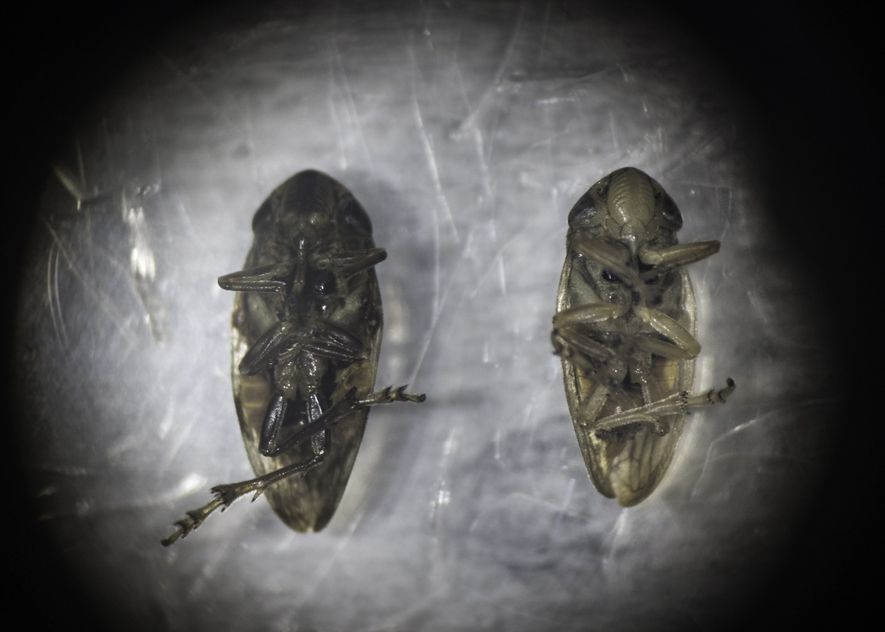 A female (right) and male (left) spittlebug sit under a microscope at the Italian National Research ...