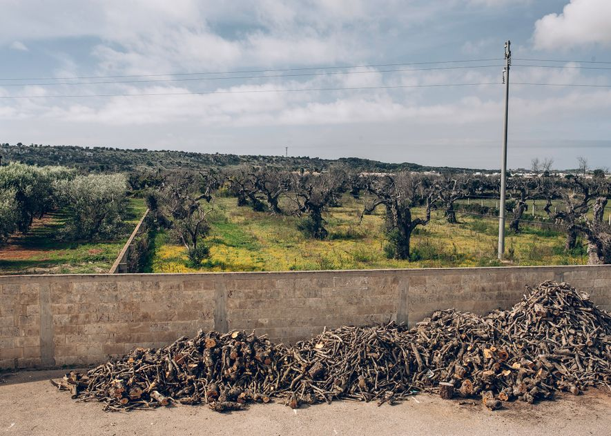 Piles of wood cut from infected trees dry outside Renato Adamo's olive oil plant in Felline. ...