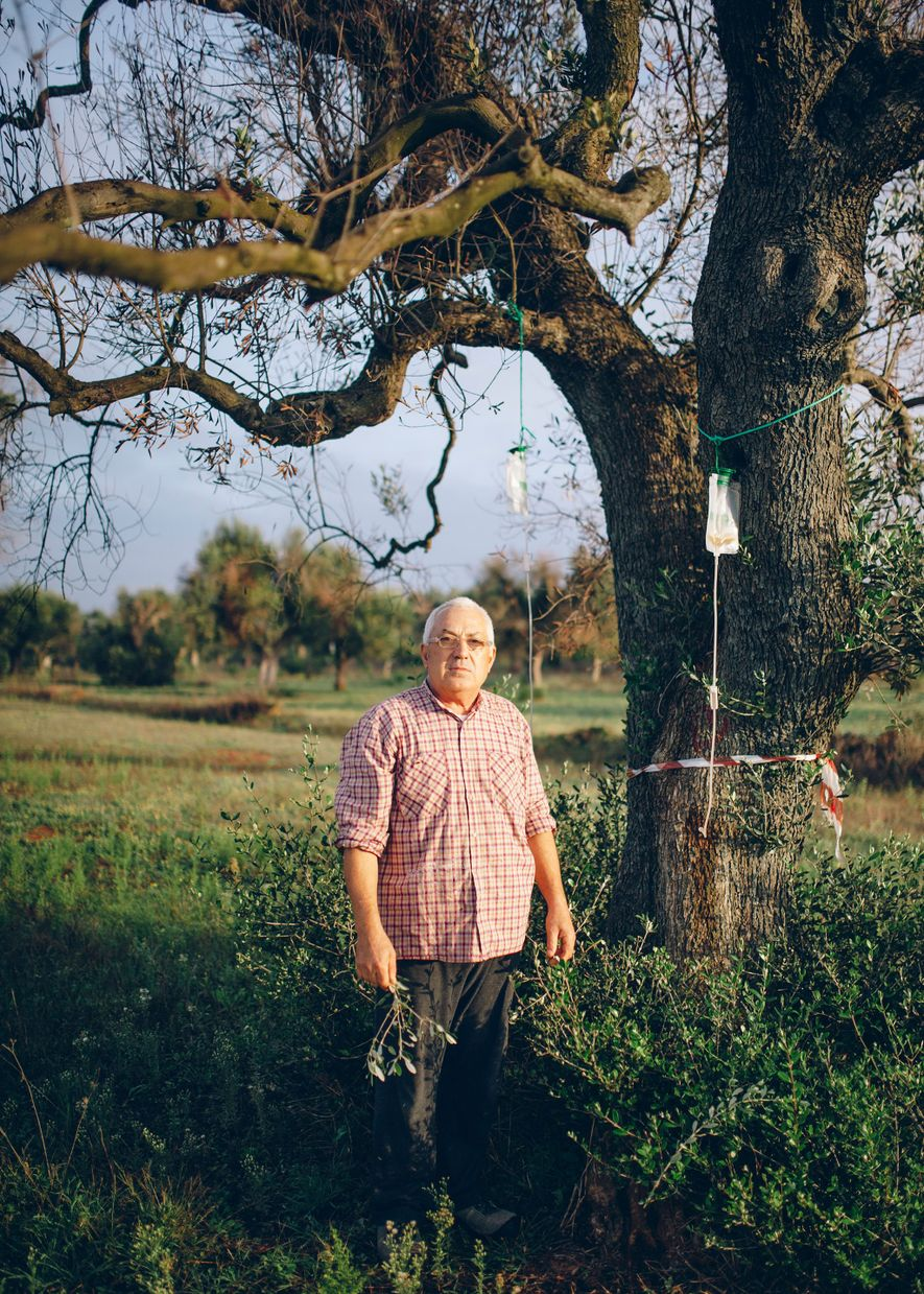 There is no known cure for Xylella, but farmers often try home remedies anyway in attempts ...