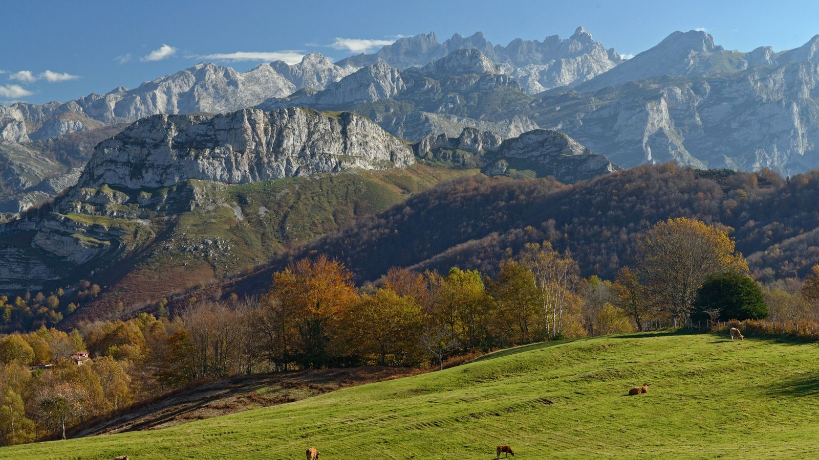 Cattle graze on the high grasslands of Ponga Natural Park, in view of the Picos de ...