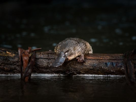 Platypuses are increasingly threatened, scientists say