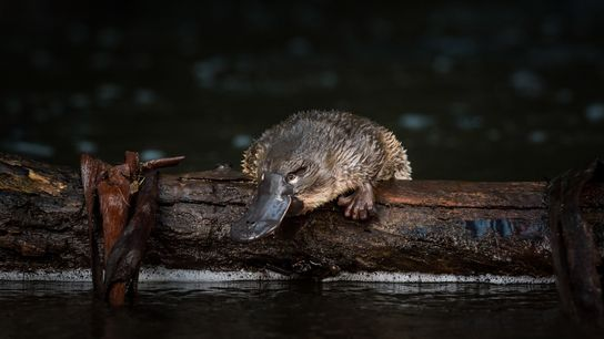 A young platypus has just been released onto a log in McMahons Creek in the state ...