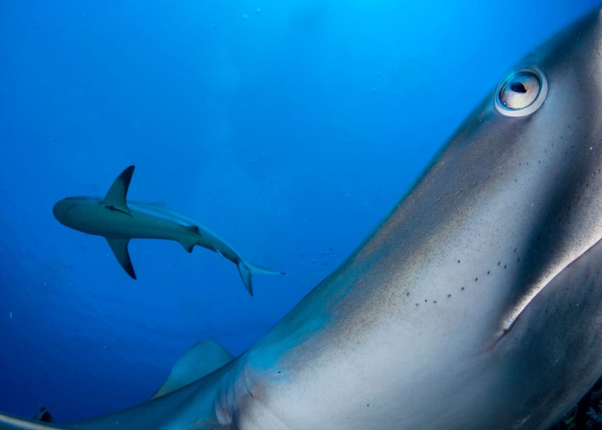 Shane Gross achieved a close encounter with typically shy Caribbean reef sharks by placing his camera ...