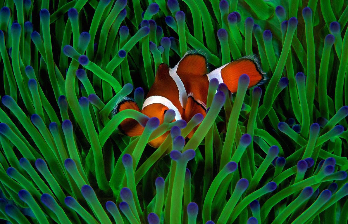 Careful not to disturb this false anemonefish, Gregory Piper focused on one spot and allowed it ...