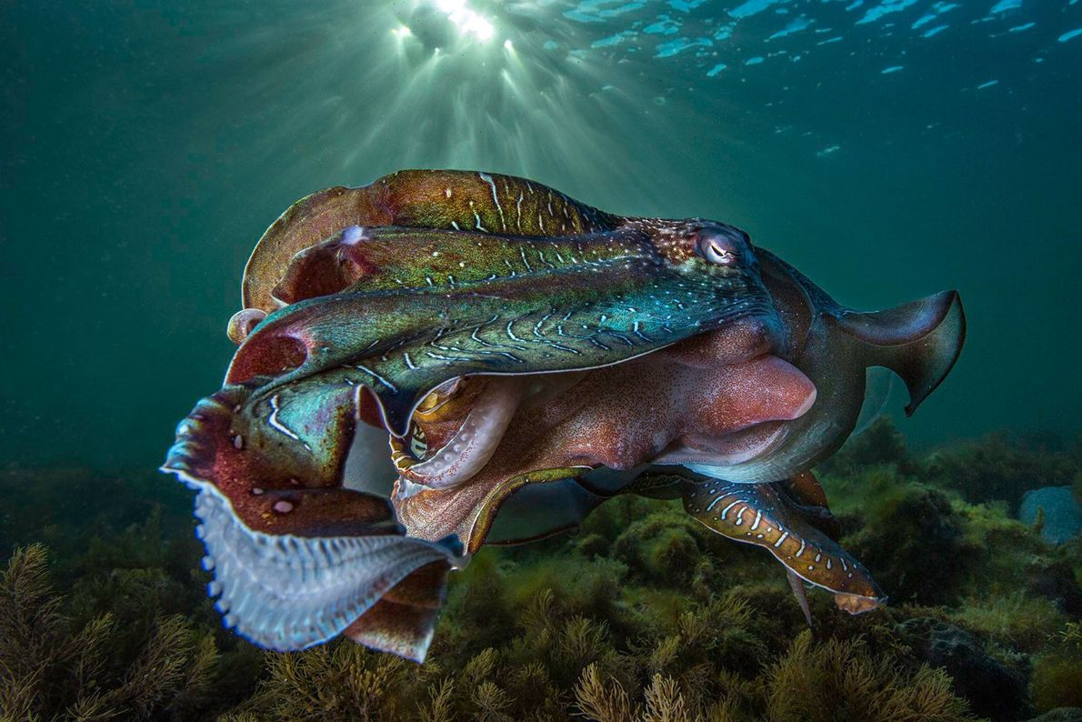 A glimmer of light highlights the colours and textures of this cuttlefish, which has joined thousands ...