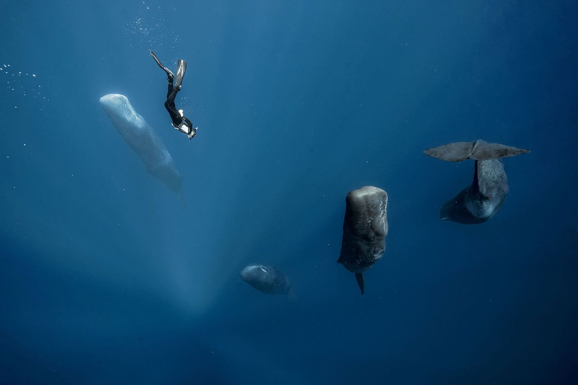 Sperm whales spend small parts of their days napping in a vertical position. In Fabrice Guerin's ...