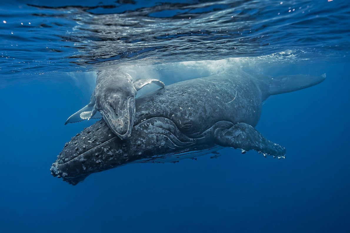 """Photographer Fabrice Guerin witnessed this humpback calf play as its mother quietly watched over it. """"Suddenly,"""" ..."""