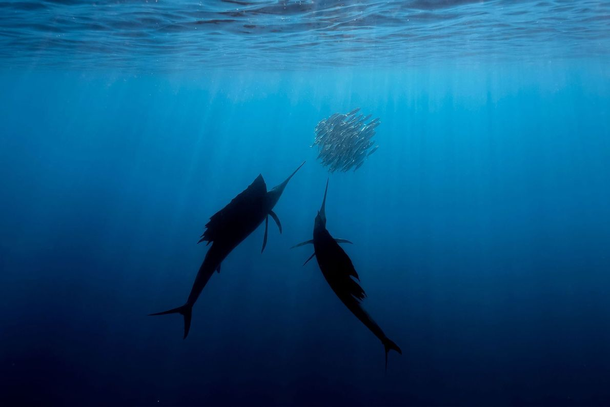 Shooting underwater has shown Fabrice Guerin evidence of climate change in action. Shoals of fish like ...