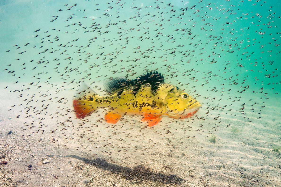 """Peacock bass fry """"hover around their mum for protection against predators."""" Michael O'Neill describes peacock bass ..."""