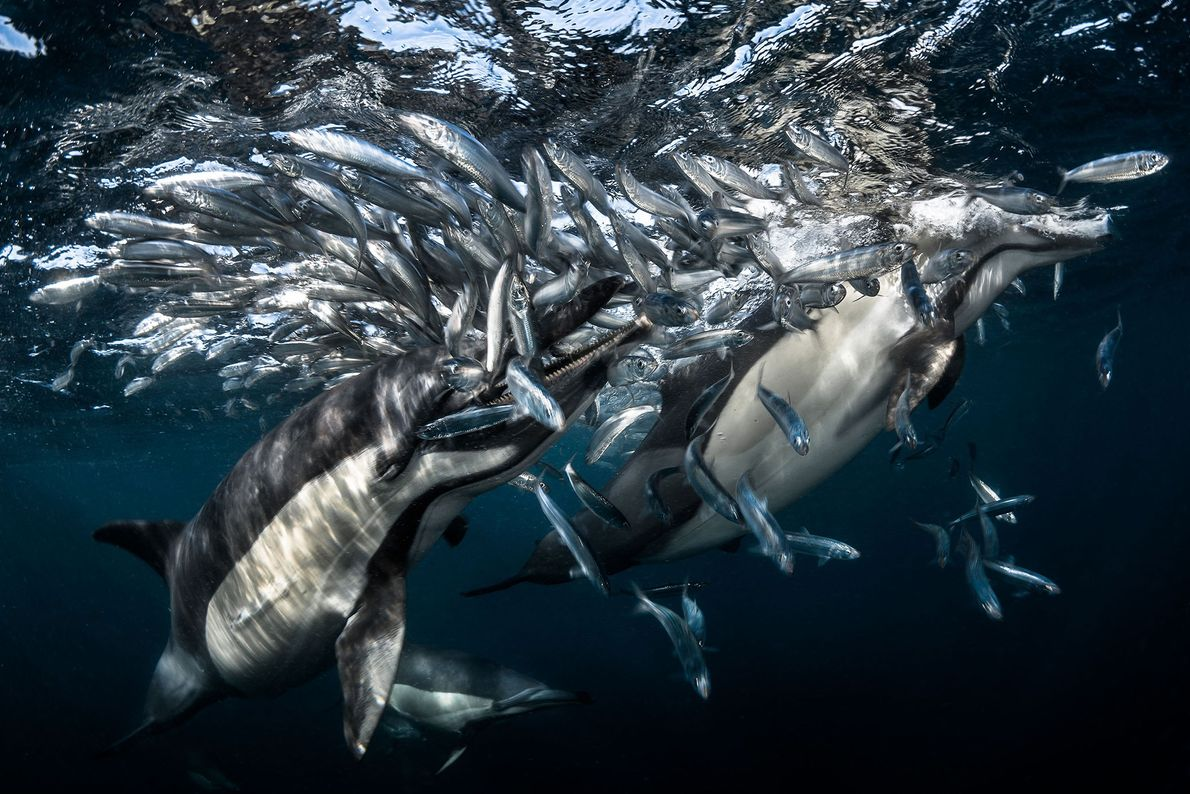 Although these dolphins are enjoying a feeding frenzy, Greg Lecoeur notes that the sardines upon which ...