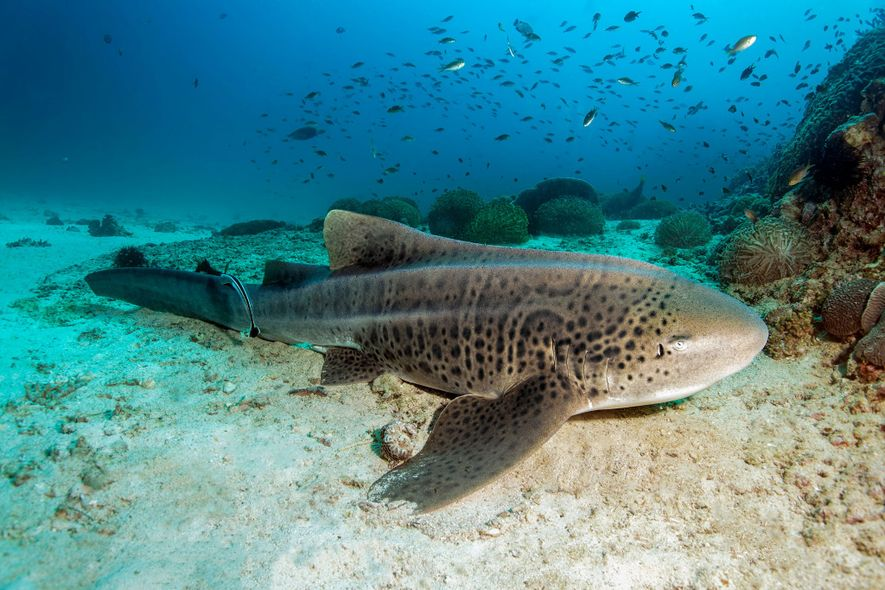 Zebra shark (Stegostoma fasciatum) resting on the sandy seafloor, Dimaniyat Islands nature reserve, Al Batinah region, ...