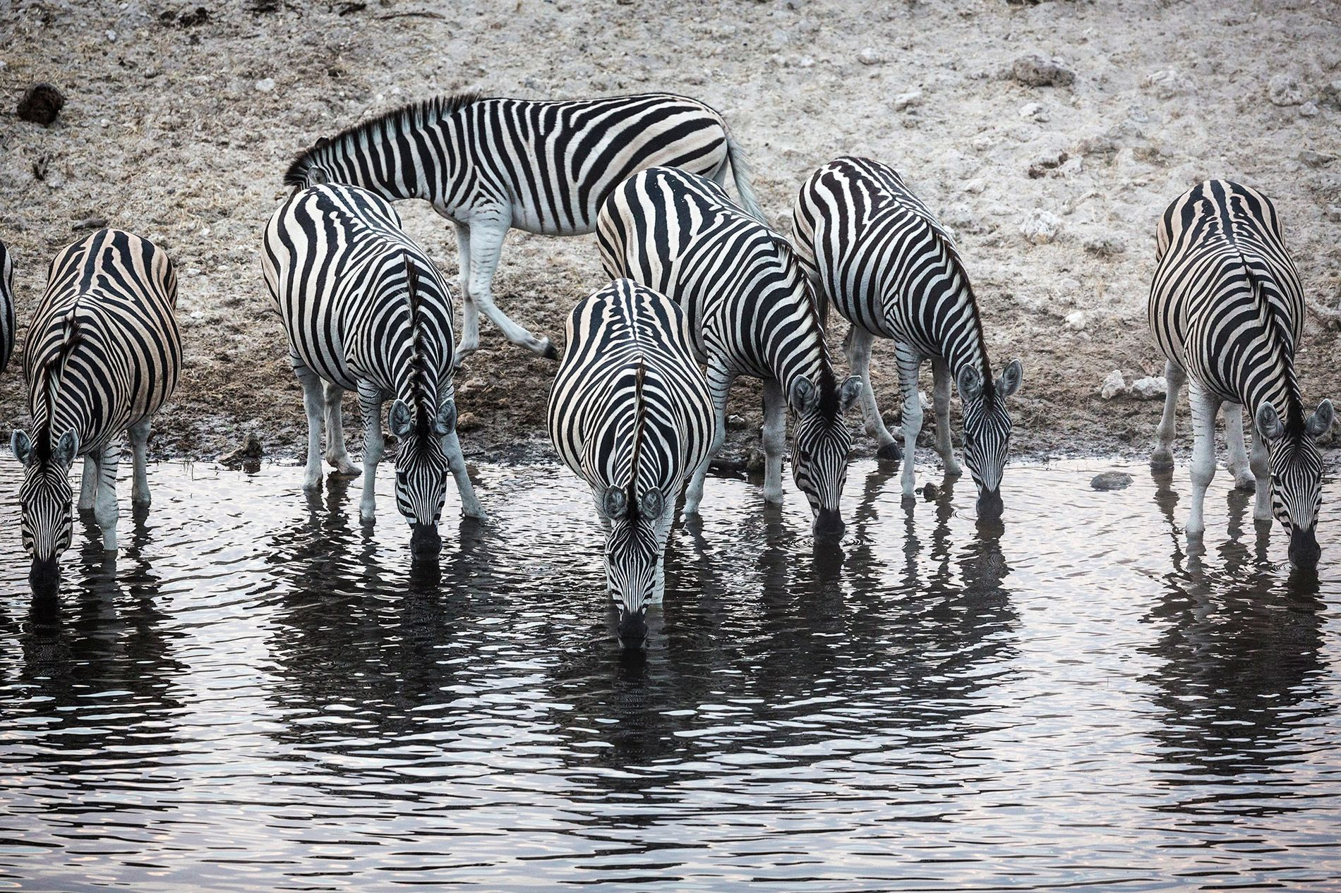 Zebras drink water from the Okavango Delta. During seasonal flooding, the delta provides lush wetlands for ...