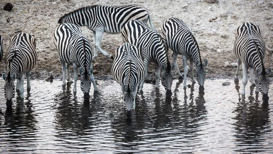 How Botswana Revived Africa's Largest Mammal Migration