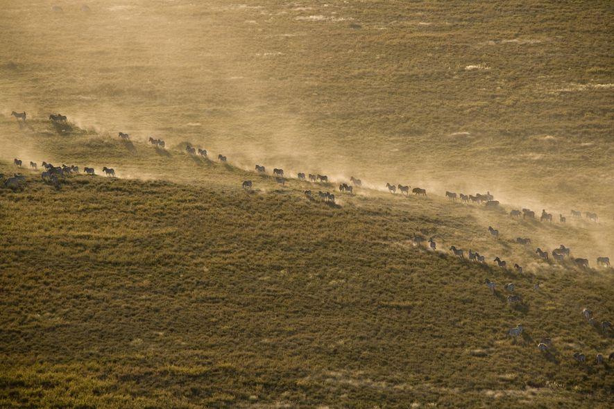 A group of zebras kick up dust as they migrate across Botswana's Makgadikgadi Pans.