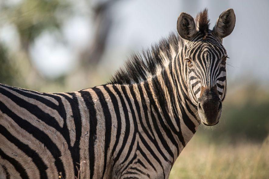 A zebra turns its head toward a photographer in Botswana.
